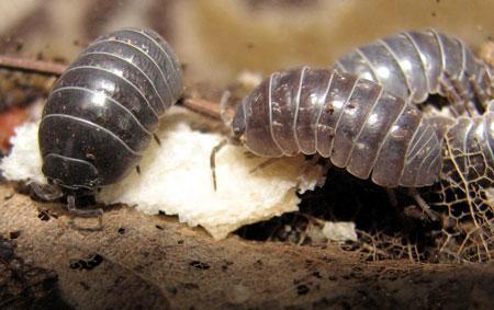 Мокрицы – насекомые-вредители