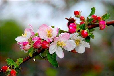 Борьба с вредителями яблони