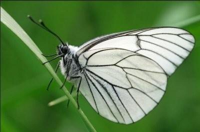 Боярышница: бабочка-вредитель, фото и описание
