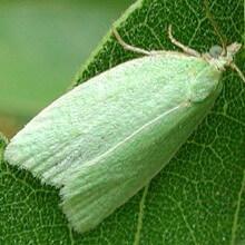 Листовертка дубовая зеленая (Tortrix viridana) — меры защиты, фото