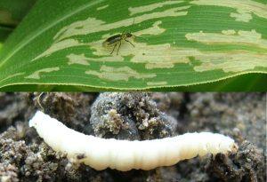 Основные вредители кукурузы — Яблуком
