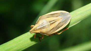 Цикадки – вредители зерновых культур