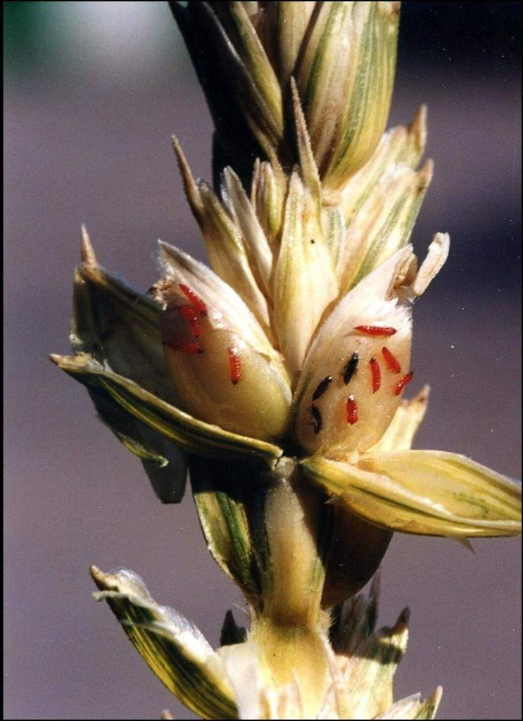 Пшеничный трипс