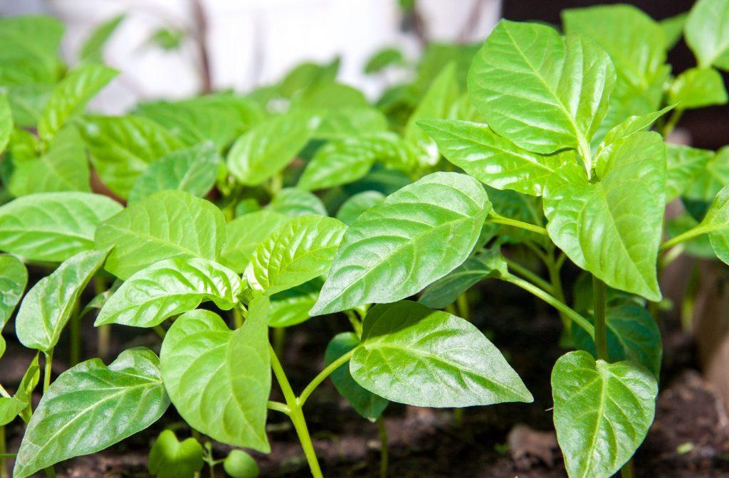 Вредители рассады перца сладкого и борьба с ними фото листьев лечение