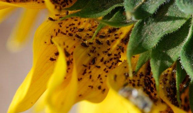 Вредители урожая подсолнуха: кого следует опасаться