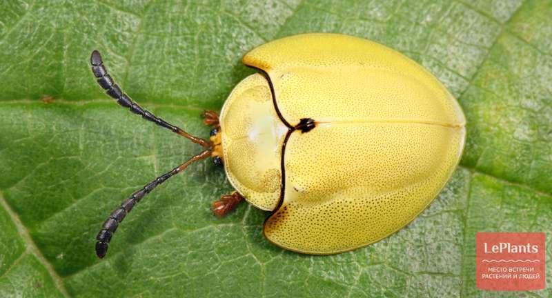 Жуки-листоеды — всё о насекомых-вредителях | Читайте на