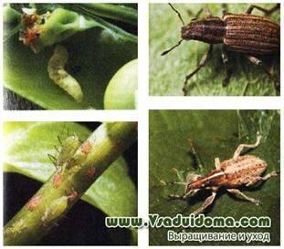Вредители гороха (фото) — средства и меры борьбы | Сайт о саде, даче и комнатных растениях
