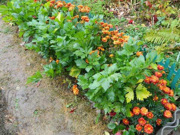 Бархатцы от вредителей на огороде: каких насекомых отпугивает тагетес