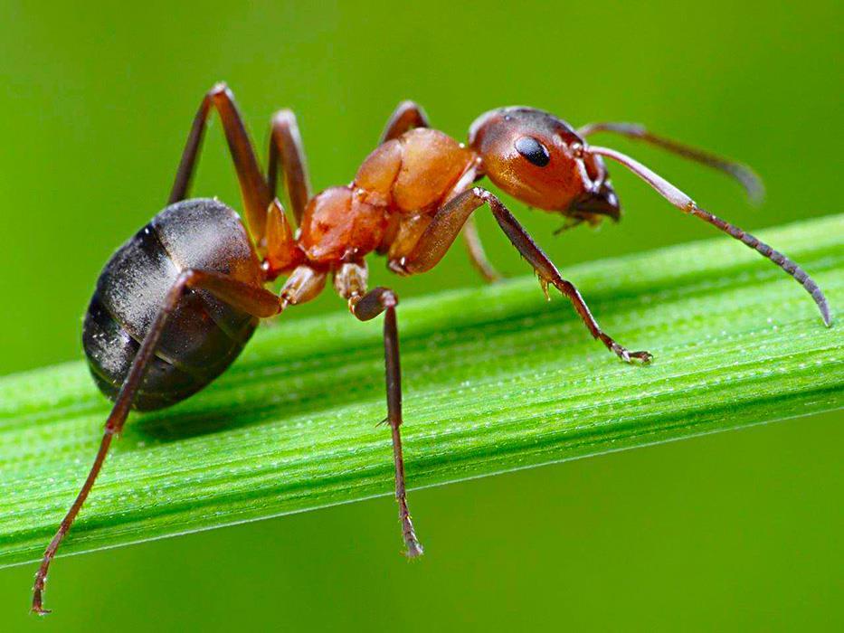 Насекомое муравей фото, описание, образ жизни