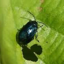 Блошка конопляная (Psylliodes attenuata) — описание, меры борьбы, фото