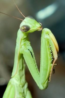 Богомол – красивое и опасное насекомое