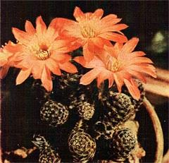 Кактусы: болезни и вредители кактусов, мучнистый червец, корневой червец, паутинный клещ, красный паучок, щитовка, вредители болезни кактусов, кактусовая нематода, сухая и мокрая гниль кактусов, борьба с вредителями и болезнями кактусов, цветы фото растения реферат