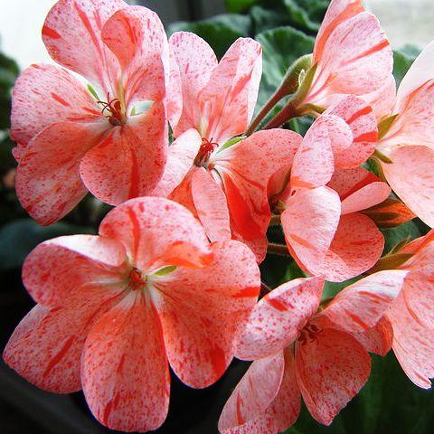 Вредители Герани или как бороться с недугом советы и рекомендации по уходу для садоводов
