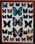 Бабочки в рамках из дерева под стеклом, жуки насекомые в рамках купить в Москве, Санкт-Петербурге, Спб, Екатеринбурге, Новосибирске, Казани