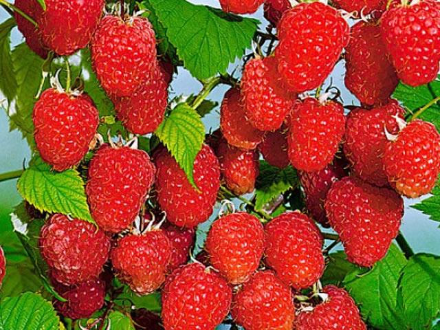 Дикие виды томата устойчивы к вредителям   Выращивание   АПК-Информ: овощи; фрукты
