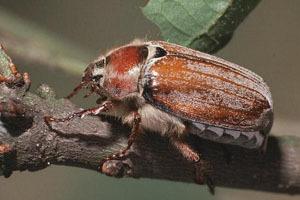 Что делает майский жук? Он вредитель?