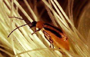 Эволюция насекомых против биотехнологий — Сайт Природа