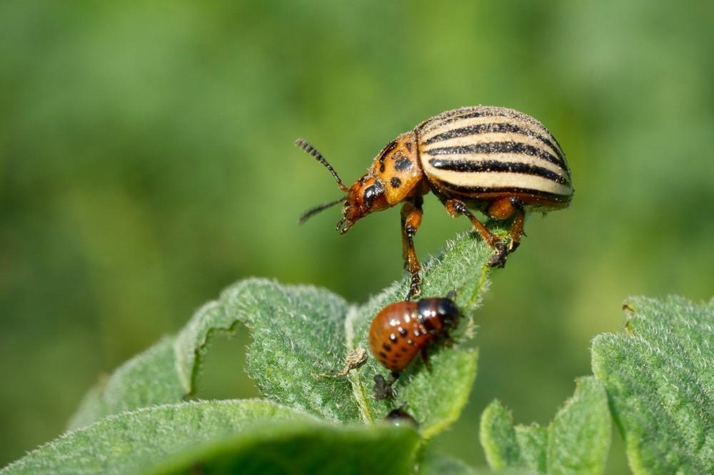 Колорадский жук – избавиться непросто, но возможно | Дела огородные ()