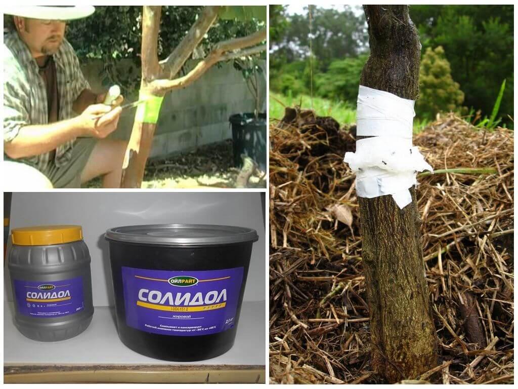 Ловушки для вредителей плодовых деревьев: болезни, вредители |