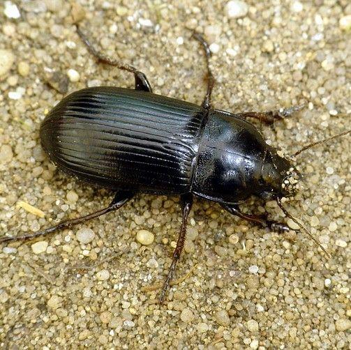 Яровая муха – вредитель зерновых культур