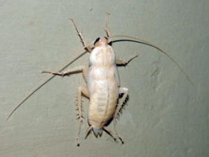 Таракан: идеальный организм