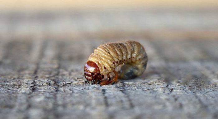 Отряд Жесткокрылые или Жуки (Coleoptera)
