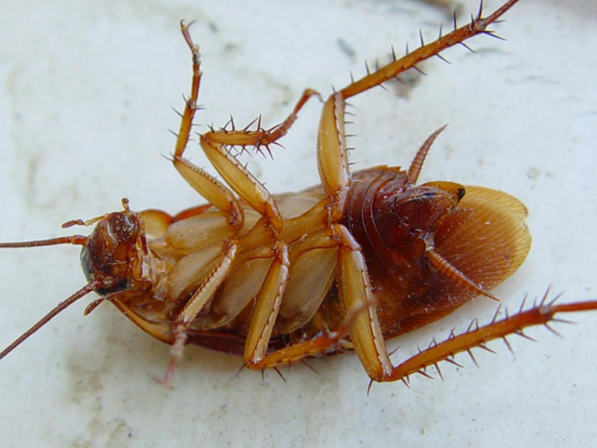 Блаттофобия — боязнь тараканов | Фобии |