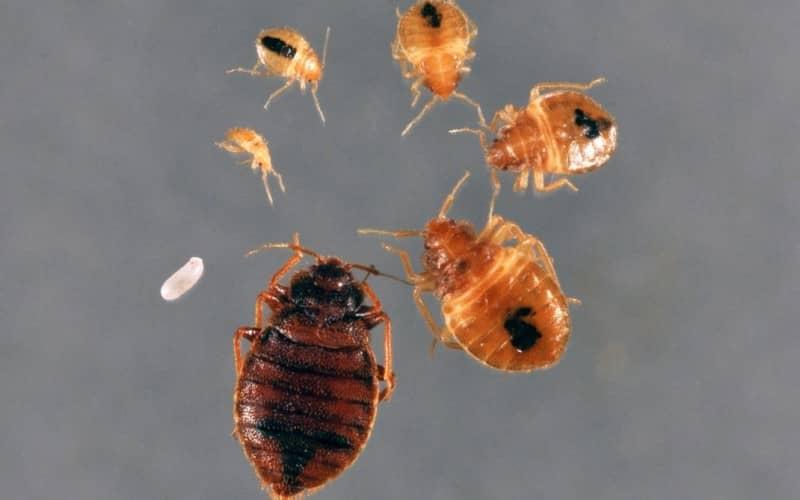 Постельные клопы-паразиты