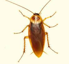 Описание мадагаскарского шипящего таракана (Gromphadorhina portentosa)