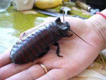 Гигантские тараканы сбежали из Киевского зоопарка