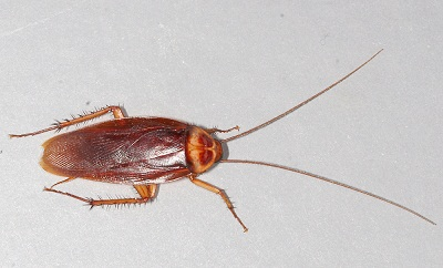 Исследователи превратили тараканов в киборгов