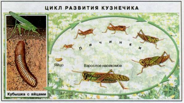 Тип развития тараканов