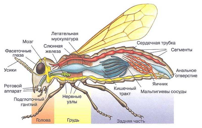 Насекомое типа таракана