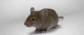 Мышь домо́вая | Дезинфекция Северный Кавказ