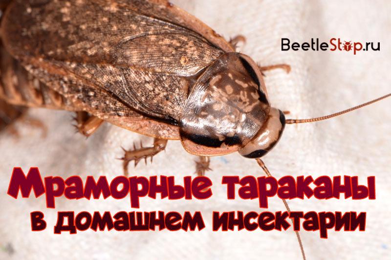 Отряд Тараканы (Blattodea)   Фауна Беларуси
