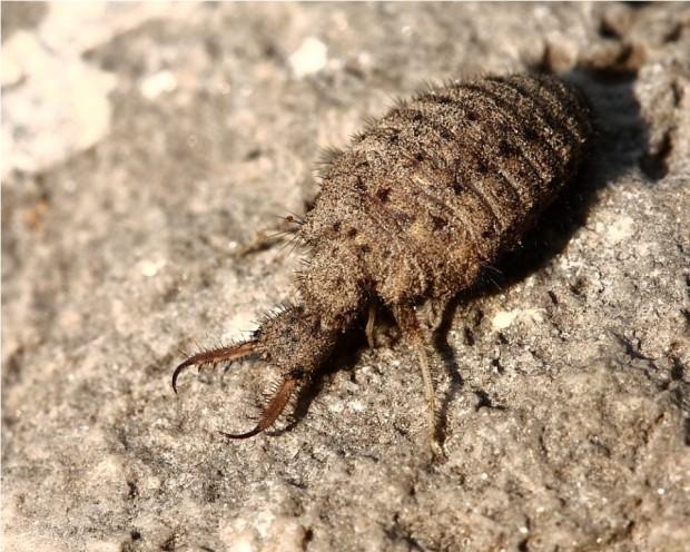 Водяные личинки насекомых