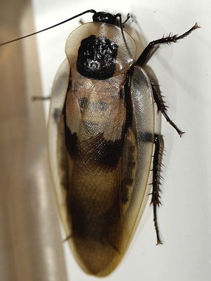 Таракан австралийский