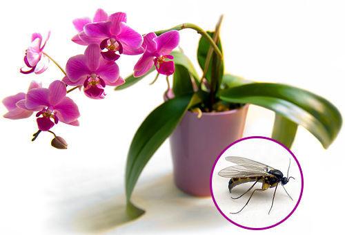 В орхидее завелись мошки — что делать, как избавиться, как вывести?