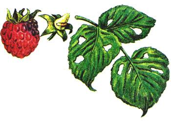 Болезни и вредители малины | Супер сад