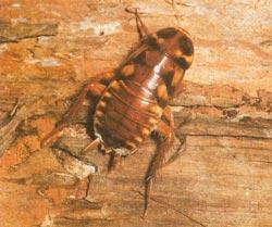 Blattidae   справочник