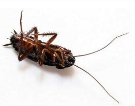 Как вывести тараканов, эффективные средства от тараканов |