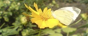 Капустница — бабочка, гусеница, меры борьбы, личинка, питание, фото