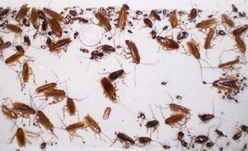 Тараканы   — Продажа экзотических животных