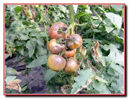 Вредитель белокрылка на огороде