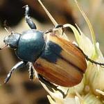 Обыкновенная хлебная жужелица (Zabrus tenebrioides)