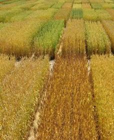 13 тысяч сортов кукурузы