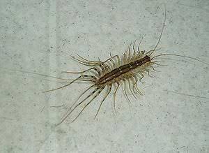 Насекомое мухоловка личинка