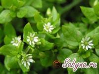 Лечебная трава мокрица, свойства | Сабина — женский сайт обо всем