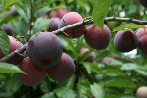 Биологический метод борьбы с вредителями сливы